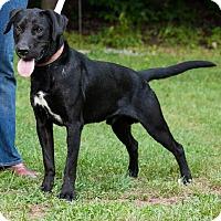 Adopt A Pet :: Bear - Marion, NC