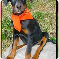 Adopt A Pet :: Olivia outgoing fun - Sacramento, CA