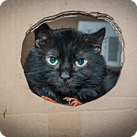 Domestic Mediumhair Cat for adoption in New York, New York - Marcus