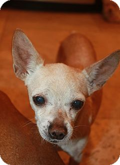 Chihuahua Mix Dog for adoption in Buckeye, Arizona - Peewee