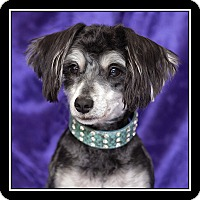 Adopt A Pet :: Haley - San Dimas, CA