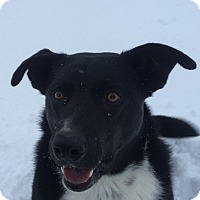 Border Collie/Husky Mix Dog for adoption in Montpelier, Idaho - Keeta