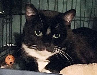 Domestic Shorthair Cat for adoption in Springfield, Oregon - Ta'nai