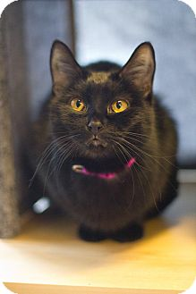 Domestic Shorthair Cat for adoption in Grayslake, Illinois - Heaven