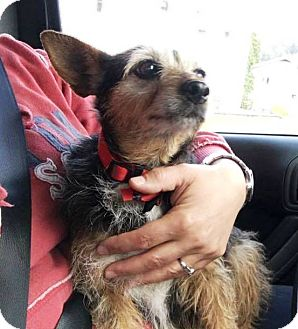 Terrier (Unknown Type, Small) Mix Dog for adoption in Transfer, Pennsylvania - Lily