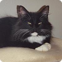 Adopt A Pet :: Ashia - Fort Collins, CO