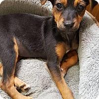 Adopt A Pet :: Helena - Aurora, CO