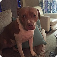 Pit Bull Terrier Dog for adoption in Richmond, Virginia - Penny