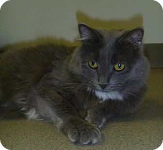 Domestic Longhair Cat for adoption in Hamburg, New York - Missy
