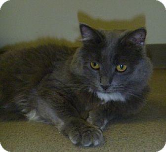 Domestic Longhair Cat for adoption in Hamburg, New York - Missy