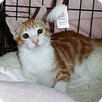 Domestic Shorthair Kitten for adoption in Long Beach, California - Diego