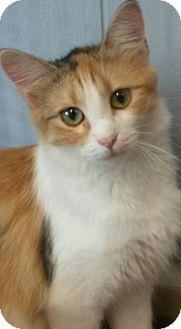 Calico Kitten for adoption in Flemington, New Jersey - Celene