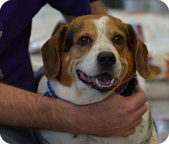 Beagle Mix Dog for adoption in Waldorf, Maryland - Rocky Caroline