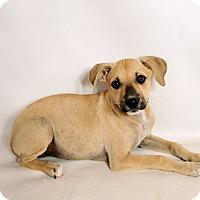 Adopt A Pet :: Heather Boxer Mix - St. Louis, MO