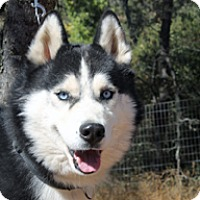 Siberian Husky Dog for adoption in Jamestown, California - Sylar