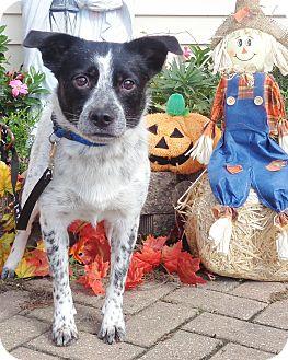 Blue Heeler/Retriever (Unknown Type) Mix Dog for adoption in West Chicago, Illinois - Riordan