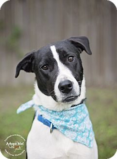 Border Collie/Pointer Mix Dog for adoption in Portland, Oregon - Simon