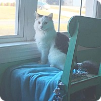 Domestic Mediumhair Cat for adoption in Homewood, Alabama - Tommie