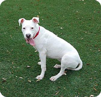 Pit Bull Terrier Mix Dog for adoption in Bradenton, Florida - Piggy