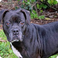 Boxer Mix Dog for adoption in West Palm Beach, Florida - TANK