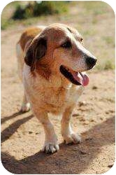 Basset Hound/St. Bernard Mix Dog for adoption in Acton, California - Murry