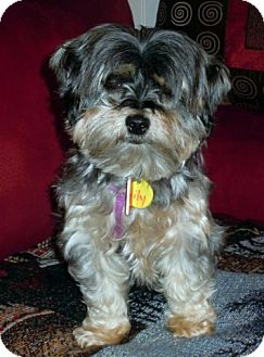 Yorkie, Yorkshire Terrier/Shih Tzu Mix Dog for adoption in Toronto, Ontario - Lily