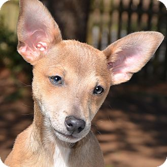 Chihuahua Mix Puppy for adoption in Washington, D.C. - Taco adopt fee $350