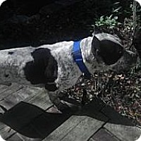 Adopt A Pet :: Bandit - Chicagoland area, IL