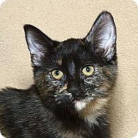 Adopt A Pet :: Tortilla N - Sacramento, CA