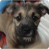 Adopt A Pet :: Shaggy - scooby litter - Phoenix, AZ
