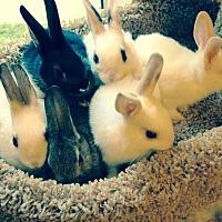 Adopt A Pet :: Clove - Los Angeles, CA