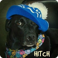 Adopt A Pet :: hitch - Henderson, KY