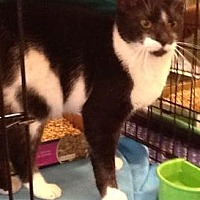 Domestic Shorthair Cat for adoption in Houston, Texas - Charcoal