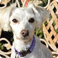Adopt A Pet :: Chauncey - Irvine, CA