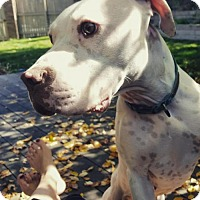 Boxer/American Staffordshire Terrier Mix Dog for adoption in Boulder, Colorado - Sylvie