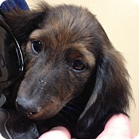 Adopt A Pet :: Gilligan - Fairview Heights, IL