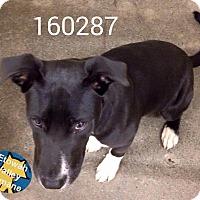 Adopt A Pet :: Bandit - Boston, MA