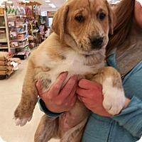 Adopt A Pet :: Selma's Puppy - RC Cola - Midlothian, VA