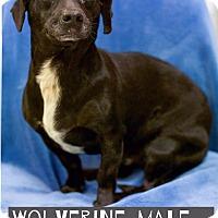 Adopt A Pet :: Wolverine - Allentown, PA