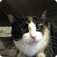 Domestic Shorthair Cat for adoption in Bridgewater, New Jersey - Daphne