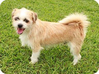 Shih Tzu/Chihuahua Mix Puppy for adoption in Allentown, Pennsylvania - Wheaton