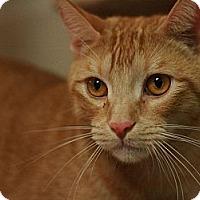 Domestic Shorthair Cat for adoption in Canoga Park, California - Houdini