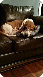Basset Hound Mix Dog for adoption in Albemarle, North Carolina - Fred