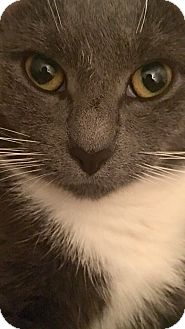 Domestic Shorthair Cat for adoption in New York, New York - Teacup