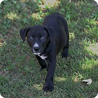 Adopt A Pet :: PUPPY - Shepard - Lincoln, CA