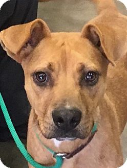 Boxer Mix Dog for adoption in Allen town, Pennsylvania - Ruger-ADOPTED