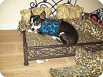 Chihuahua Mix Dog for adoption in Philadelphia, Pennsylvania - Callie