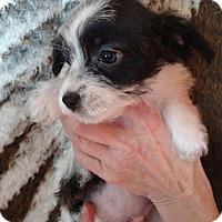Adopt A Pet :: Kalista - Thompson Falls, MT