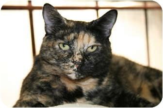 Domestic Shorthair Cat for adoption in Bonita Springs, Florida - Tootsie