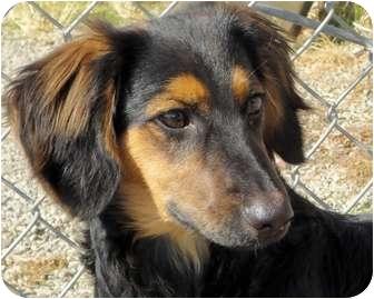 Dexter | Adopted Puppy | San Jose, CA | Dachshund ...